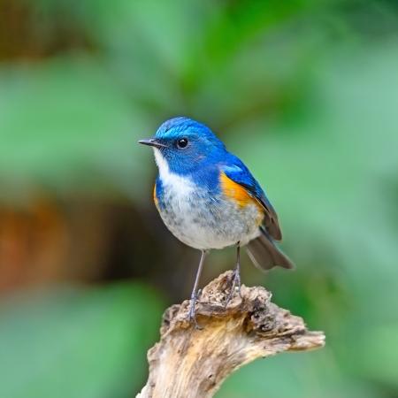 Beatiful blue bird, face-to-face, male Himalayan Bluetail (Tarsiger rufilatus) on a branch 版權商用圖片