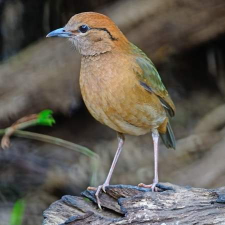lang: A male Rusty-naped Pitta (Pitta oatesi), uncommon resident Pitta at Doi Lang - North Thailand Birding on the log Stock Photo