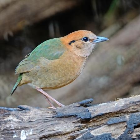 lang: A male Rusty-naped Pitta (Pitta oatesi) at Doi Lang - North Thailand Birding on the log