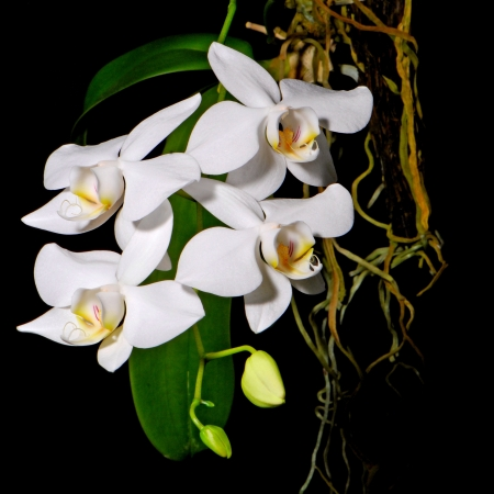 A white orchid on black blackground, Phalaenopsis amabilis, butterfly orchid Stock Photo