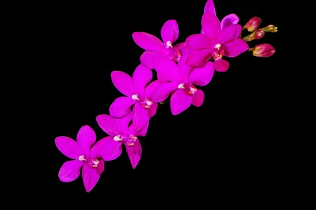 Colorful pink orchid, Phalaenopsis hybrid photo