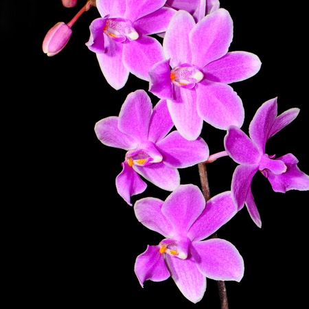 Closeup of pale purple orchid, Phalaenopsis hybrid photo