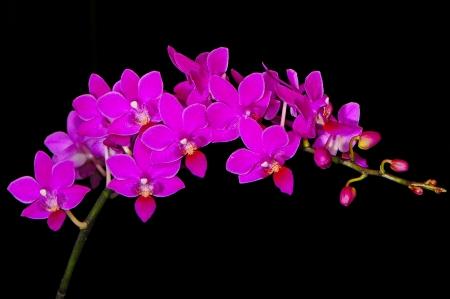 inflorescence: Inflorescence of purple orchid, Phalaenopsis hybrid
