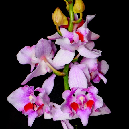 Colorful peloric orchid, Phalaenopsis hybrid photo