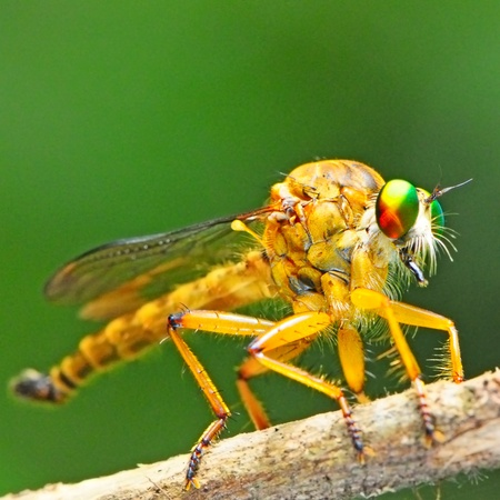 machimus: Closeup of robber fly (Asilidae), Machimus sp. and natural background  Stock Photo