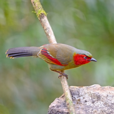 laughingthrush: Red-faced bird, Scarlet-faced Liocichla (Liocichla ripponi)
