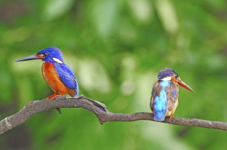 alcedo: Couple of lovers, Blued-eared Kingfisher (Alcedo meninting)