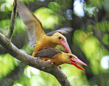 Mating in action 5 : Brown-winged Kingfisher (Pelargopsis amauroptera) posting on branch, found in the south of Thailand photo