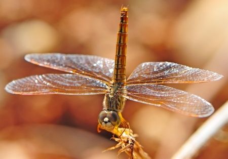 trithemis: Dragonfly on a branch with brown nature background