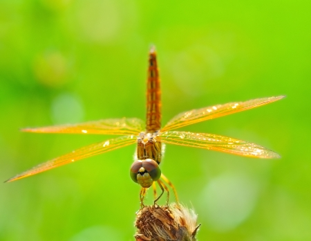 trithemis: Dragonfly on a branch with green nature background Stock Photo