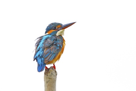 Portrait of beautiful female Common Kingfisher (Alcedo athis) isolated on white background