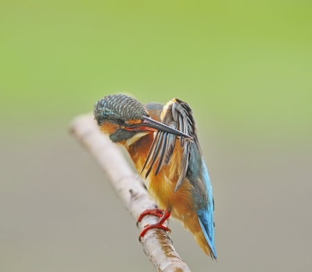 Bird feathering, beautiful female Common Kingfisher (Alcedo athis) sitting and resting on a branch Stock Photo