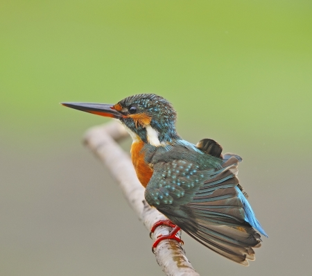 Happy bird, female Common Kingfisher (Alcedo athis) on a branch Stock Photo - 21266696