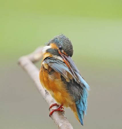 For cleaning,  female Common Kingfisher (Alcedo athis) sitting on a branch