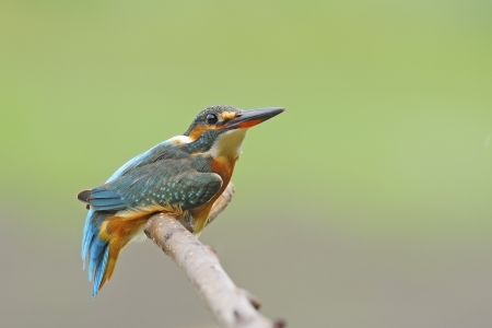 Cute bird, female Common Kingfisher (Alcedo athis) resting on a branch Stock Photo