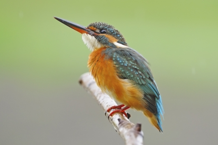 Female Common Kingfisher (Alcedo athis) on a branch in green nature background