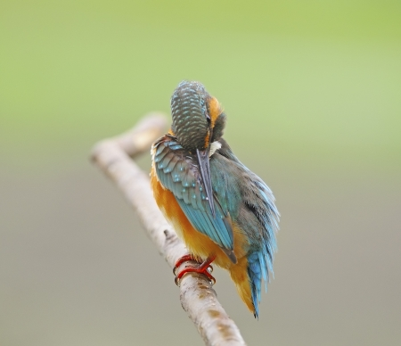 Bird feathering, beautiful female Common Kingfisher (Alcedo athis) on a branch