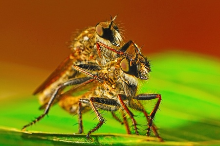 machimus: Mating of robber fly (Asilidae), Machimus sp. and natural background  Stock Photo