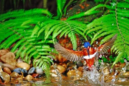 subaquatic: Fully flighted bird, catching fish, male Blued-eared Kingfisher (Alcedo meninting) Stock Photo