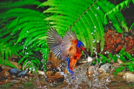 subaquatic: Bingo catching fish, male Blued-eared Kingfisher (Alcedo meninting)
