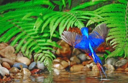 subaquatic: Catching fish technique, male Blued-eared Kingfisher (Alcedo meninting)