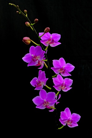Beautiful pink orchid, Phalaenopsis hybrid photo