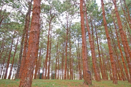 Pinus tree landscape photo