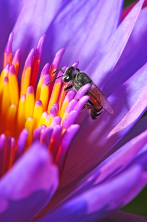 Purple waterlily, beautiful flower with bee photo