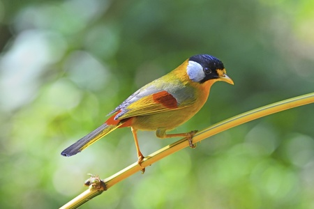 leiothrix argentauris: Golden Bird, Silver-eared Mesia (male), on a bamboo branch