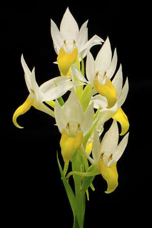 endemic: terrestrial orchid, Pectelis sagarikii, endemic in the south-asia