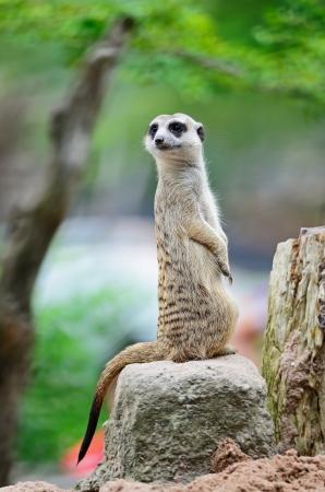 경계에 경고 이미지 Suricate 또는 미어캣 (수리남의 suricatta) 스톡 사진