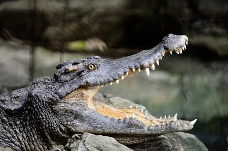 siamensis:  Face of Siamese Crocodile (Crocodylus siamensis)
