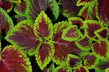 Red and green coleus, closeup for background photo