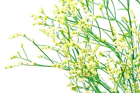 Beautiful yellow statice flower isolated on white photo