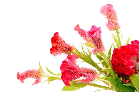 Red flower, Cockscomb or Chinese Wool Flower (Celosia argentea), isolated on a white background photo