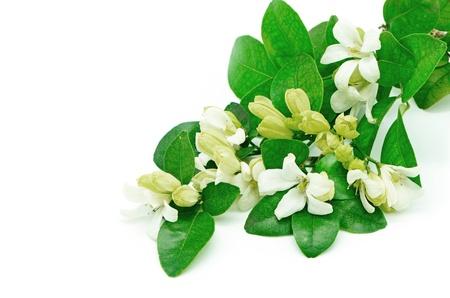 jessamine: White flower, Orang Jessamine (Murraya paniculata) or China Box Tree, Andaman Satinwood, isolated on a white background