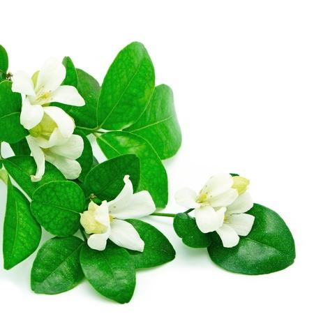 jessamine: Fiore bianco, Orang Jessamine (Murraya paniculata) o China Box Tree, Andaman Satinwood, isolato su uno sfondo bianco