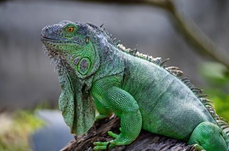 Female Green Iguana (Iguana iguana), side profile