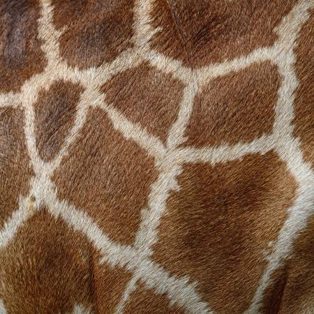 Genuine leather skin of Giraffe (Girafta camelopardalis) Stock Photo - 22154119