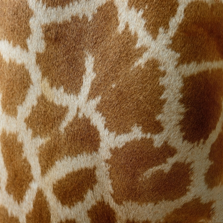 Genuine leather skin of Giraffe (Girafta camelopardalis) photo