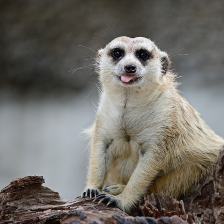 suricata suricatta: Cute Suricate or Meerkat (Suricata suricatta), sitting on the log