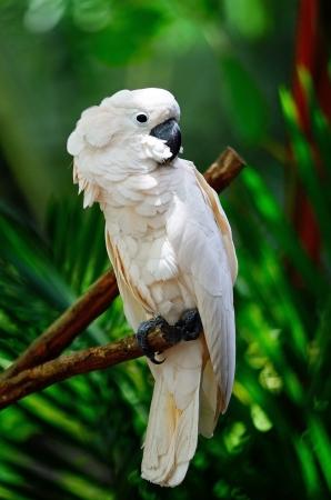 Beautiful pale pink Cockatoo, Moluccan or Seram Cockatoo , standing on a branch 版權商用圖片