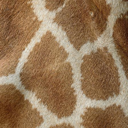 Genuine leather skin of Giraffe (Girafta camelopardalis)