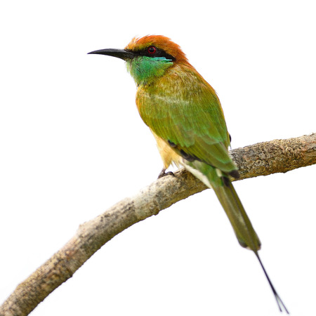 Beautiful Little Green Bee-eater bird (Merops orientalis), resting on a perch, back profile, isolated on a white background  photo