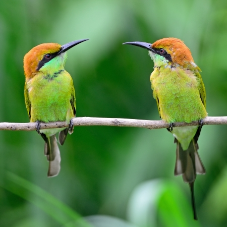 Couple of beautiful Little Green Bee-eater bird (Merops orientalis), resting on a perch, breast profile photo