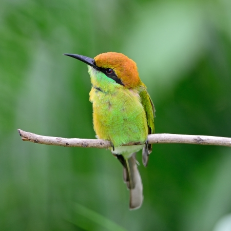Colorful Little Green Bee-eater bird (Merops orientalis), resting on a perch, breast profile photo