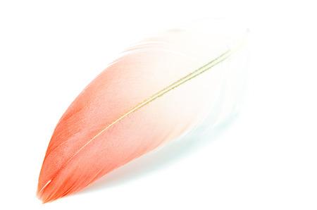 Flamingo feather isolated on white background Stock Photo - 22440950