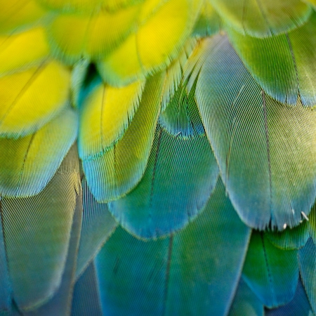 Harlequin Macaw feathers, colorful background texture photo