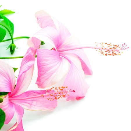 Colorful pink Hibiscus flower isolated on a white background  photo