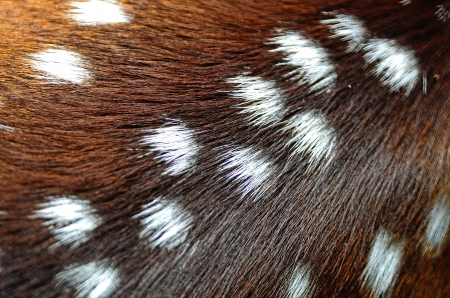 Animal fur, Spotted deer (Cervus axis), background texture skin Stock Photo